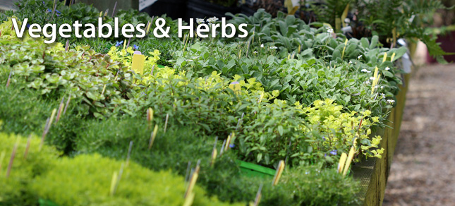 vegetables and herbs at busy bee garden nursery